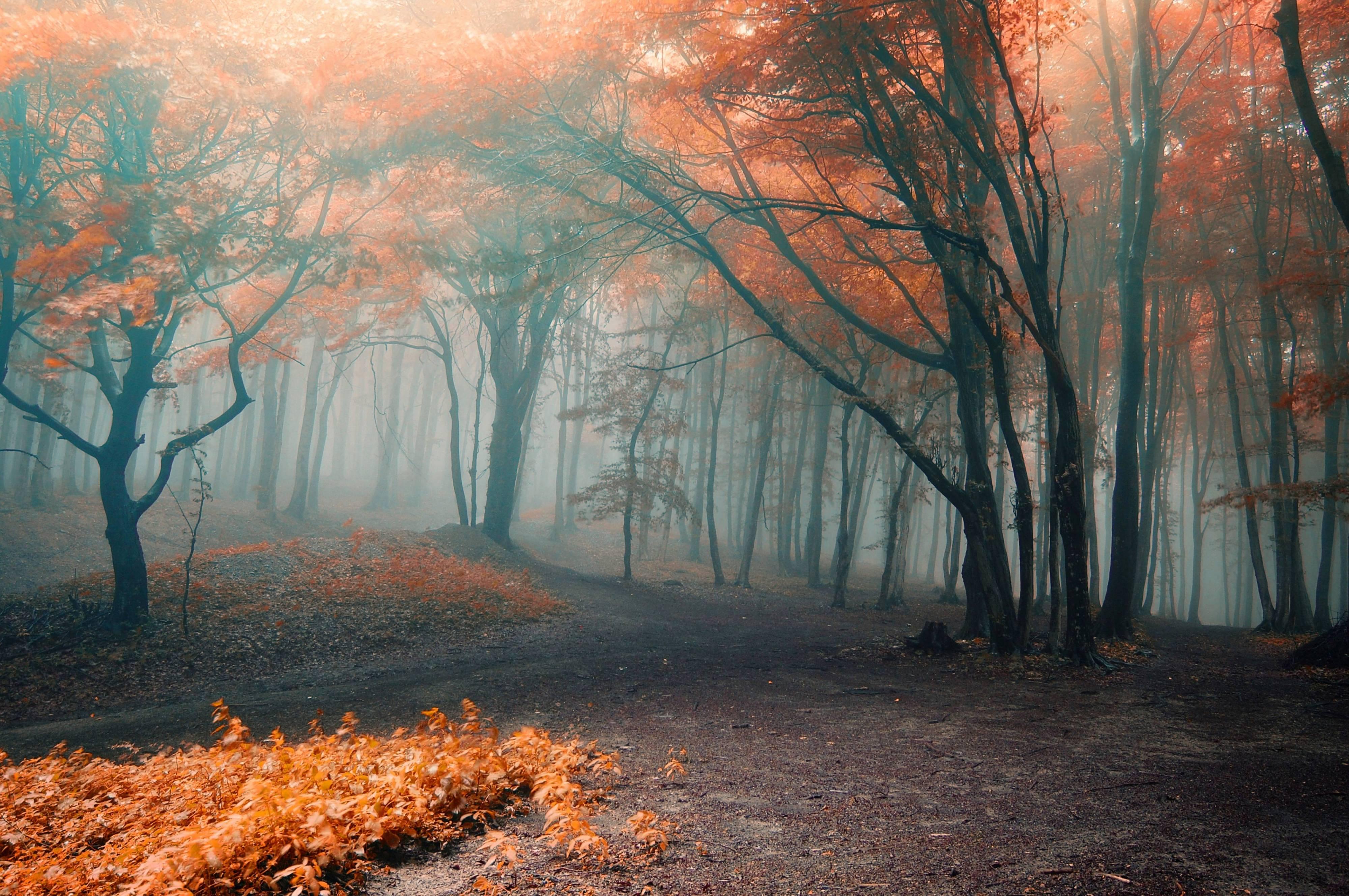 Обои осень, туман в лесу золотистые листья на деревьях на ...