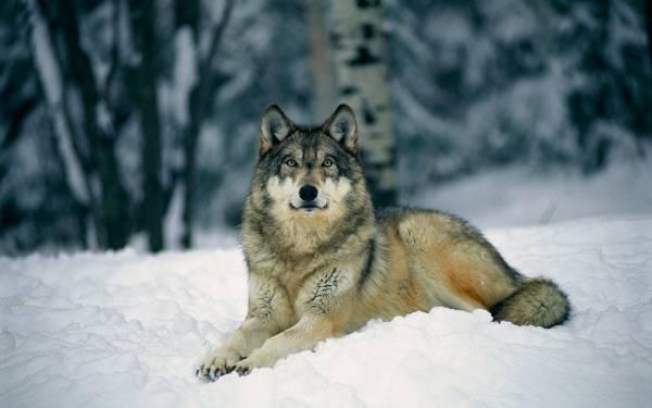 Красивый одинокий волк лежит на снегу