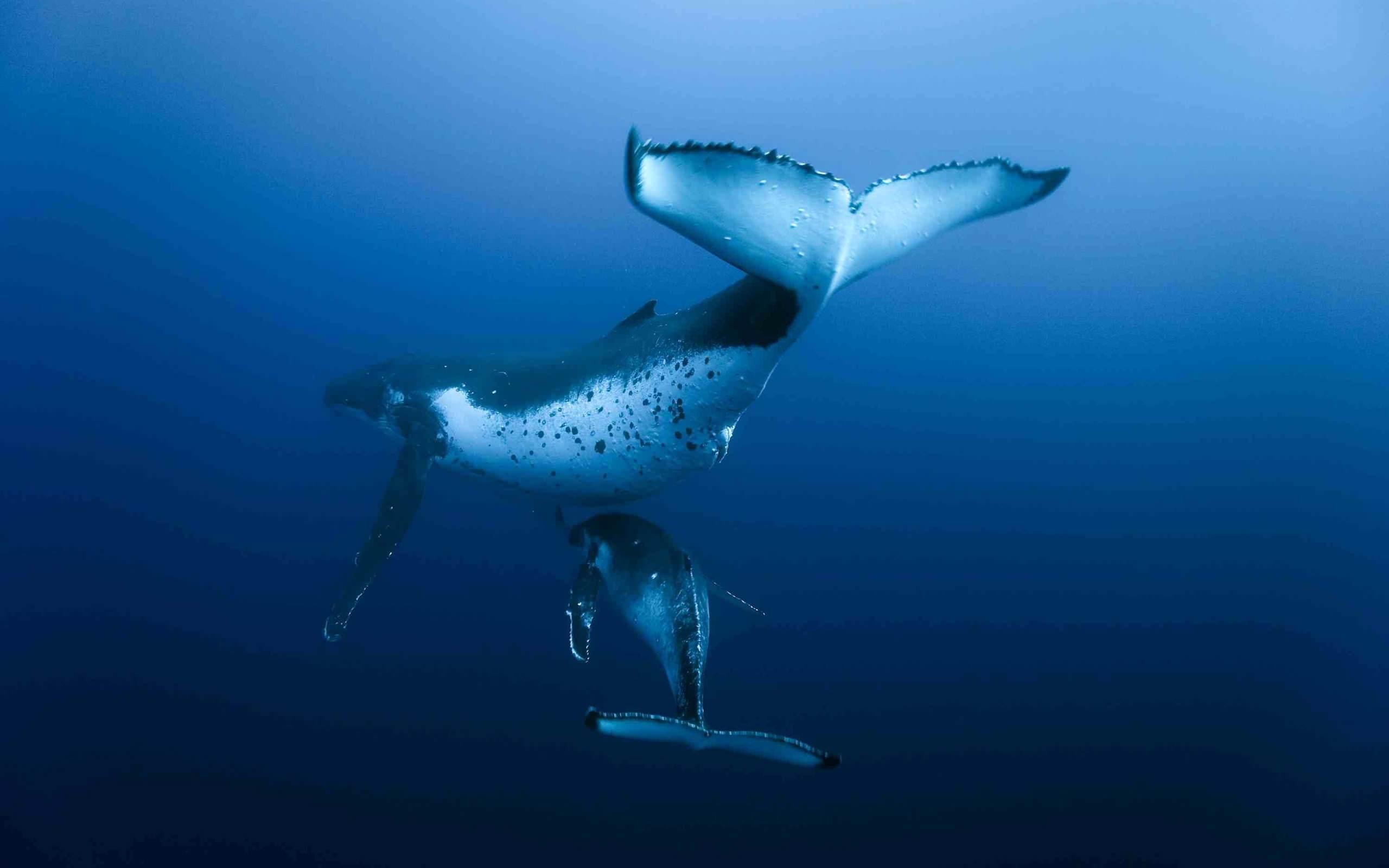 Обои подводный мир океан киты на