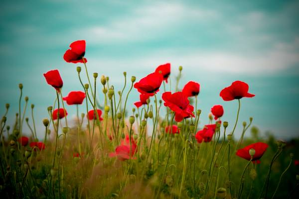 Красные маковые цветы на рабочий стол