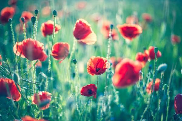 Картинка красивые красные маки в поле